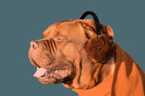 dog with earmuffs