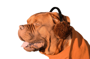 dog with earmuffs